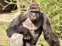 Zastřelit gorilu, které do výběhu spadlo dítě, bylo správné, hají se ředitel zoo navzdory kritikům