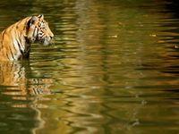 Tygr zabil v anglické zoo ošetřovatelku, pronikl nečekaně do ohrady