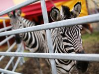 Zvířata netýráme, nic jim neschází. Ochránci nás uráží, říká ředitel Cirkusu Humberto