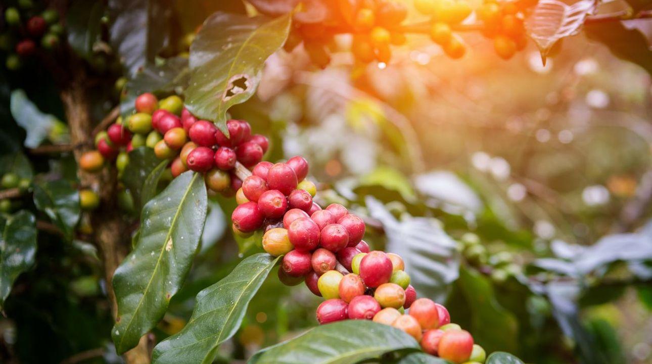 Oblíbený nápoj v ohrožení? Většina druhů kávovníku může vymizet kvůli změně klimatu