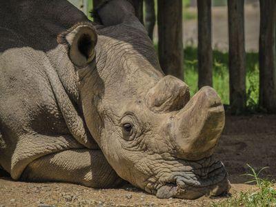 Súdán měl rád drbání na břiše a rozuměl česky. Uhynul nosorožec, který doháněl lidi k pláči