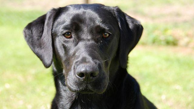 Pitbull Dog Puppy Price In Hyderabad