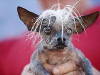 Soutěž o nejošklivějšího psa ovládla čivava s podivnými kadeřemi a trčícím jazykem
