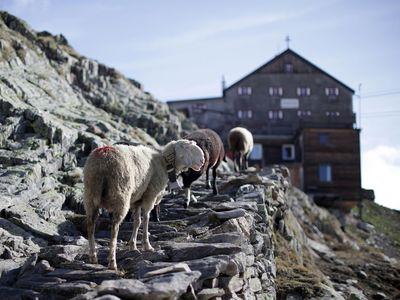 Obrazem: Až na vrcholky hor. Alpští pastýři si ve výškách razí cestu se stády ovcí