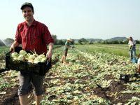 Češi znovu paběrkují na polích. Zachraňují tuny křivé zeleniny