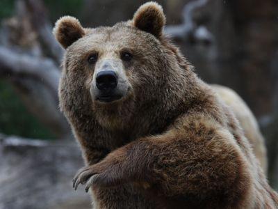Odchycený medvěd by dočasně mohl do zoo Hluboká, kraj preferuje odstřel zvířete