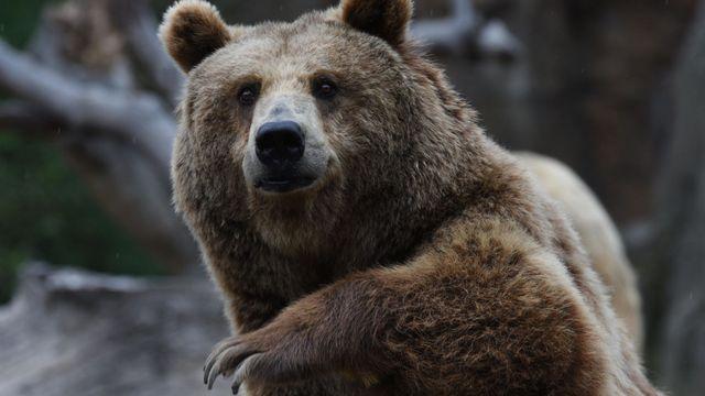 a0c65c58142 Myslivci na beskydského medvěda políčili past. Lákají ho na zbytky jelena i  med