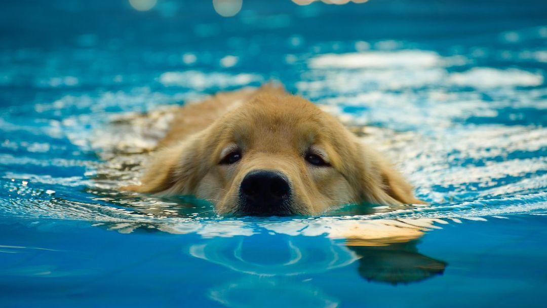Na druhé straně takový anglický buldok či jezevčík se při prvních  plaveckých pokusech mohou pěkně natrápit. c8bef1959c