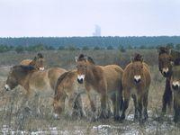 Černobyl je rájem pro divokou zvěř. V radioaktivní oblasti se jim skvěle daří