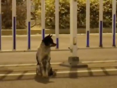Truchlící pes čeká 80 dní u cesty, kde mu zemřela panička. Jeho věrnost lidi dojímá