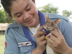 Krysa Magawa obdržela vyznamenání za odvahu a oddanost při hledání min v Kambodži.
