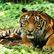 Zavřete tygří farmy a přestaňte s šelmami obchodovat, apelují ochránci zvířat na asijské státy