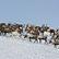 Na Sibiři do Vánoc vybijí čtvrt milionu sobů. Rusové tvrdí, že důvodem je antrax