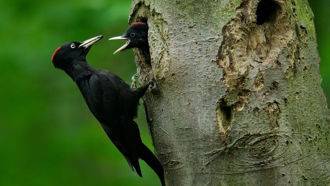 Velké černé ptáky celebrit