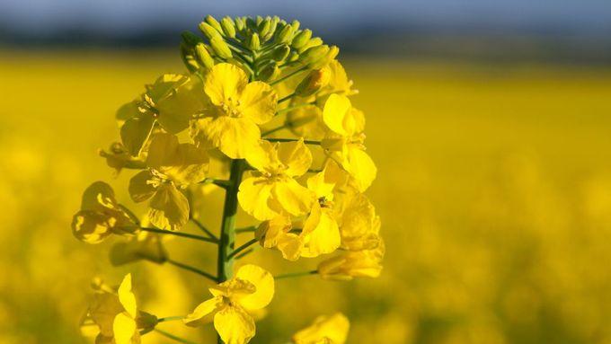 Řepka zkvalitňuje půdu, brání se zemědělci. Není ji tolik, je jen ...