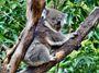 Blog: Australští koalové v nezadržitelném ohrožení