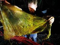 Mrtvá velryba měla v žaludku 40 kilo plastů. Nic podobného jsme neviděli, tvrdí vědci