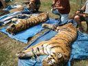 Policie kvůli nelegálnímu obchodu s tygry obvinila tři lidi, jedním z nich je Berousek
