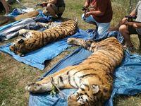 Berousek a spol. jsou obžalováni z nelegálního zabíjení tygrů, hrozí jim až pět let